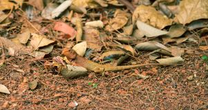 Orange lizard on ground. Brown iguana in wild nature. Mimicry skin. Exotic animal in natural environment. Tropical jungle forest inhabitant. Dry season Stock Photos