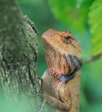 Orange Lizard In The Hideout Stock Images