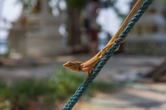 Orange lizard on the rope Stock Photo