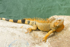 Orange lizard sitting on rock in the natural habitat. close-up p stock images