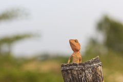 Orange lizard. Sitting on tree in the natural habitat Stock Photos