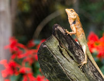 Orange lizard sitting Stock Image