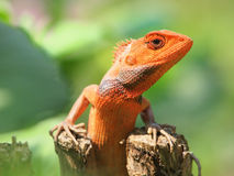 Orange lizard Stock Photo