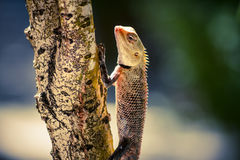 Orange lizard sitting on tree in the natural habitat. close-up photos Royalty Free Stock Image