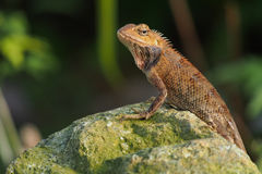 Orange lizard. An orange lizard sunning itself on a rock Royalty Free Stock Image