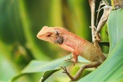 Orange Lizard. Wild lizard in orange color on green leaf Stock Photos