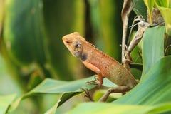 Orange Lizard. Wild lizard in orange color on green leaf Royalty Free Stock Photography