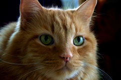 Orange ljust rödbrun katthuvud Arkivbilder