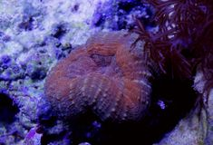 Orange Lobophyllia korall Royaltyfri Fotografi