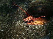 Orange lobster relax in a cave made in rock Royalty Free Stock Photography