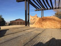 Orange long haired tabby cat perched on picnic table with barn background. Male maine coone kitty relaxing in the sun enjoying ranch life in Paso Robles, central Stock Photos