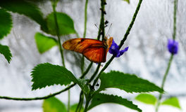 Orange Longwingbutterfly Royaltyfria Bilder
