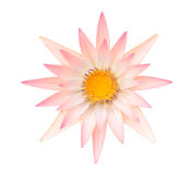 Orange lotus or range water lily isolated. On white background Royalty Free Stock Photography