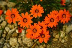 ORANGE LUMINEUSE d'URSINIA, belle fleur comme une marguerite orange lumineuse Images stock