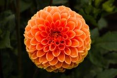 Orange Lutscher-Dahlie Lizenzfreie Stockfotografie
