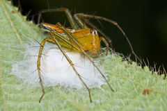 Orange lynx on her nest Stock Photography