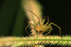 Orange lynx spider. Macro shot of beautiful orange lynx spider Stock Photo