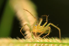 Orange lynx spider Stock Images