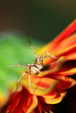 Orange lynx spider. Macro shot of beautiful orange lynx spider Royalty Free Stock Photos