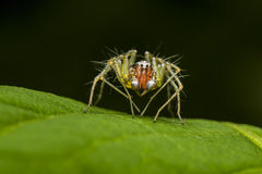 Orange Lynx Spider. Macro Photo Of An Orange Lynx Spider On A Green Leaf Royalty Free Stock Photos