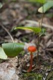 Orange Mützenpilz Mycena-Acicula Lizenzfreie Stockfotografie