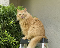 Orange Maine coon cat sitting on top of ladder Stock Photos