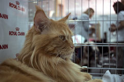 Orange maine coon cat Stock Images