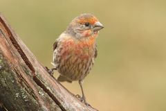 Orange Male House Finch (Carpodacus mexicanus) Stock Photos