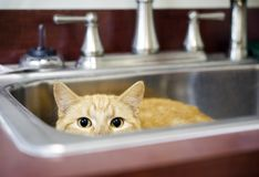 Orange Tom Cat hiding in kitchen sink. Orange male not neutered tom cat playing hide and seek in bathroom sink. Photo for Walton County Animal Control shelter in royalty free stock photo