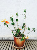 Orange mallow growing in clay pot Royalty Free Stock Images