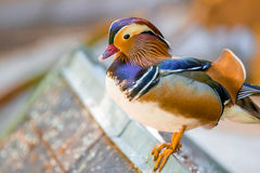 Orange mandarin duck. Standing ashore. Birds in Europe Stock Photos
