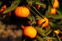 Orange mandarin på trädet mogen tangerine Royaltyfri Fotografi
