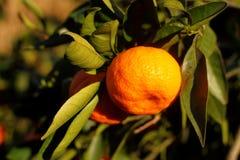 Orange mandarin på trädet mogen tangerine Royaltyfria Foton