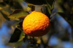 Orange mandarin på trädet mogen tangerine Arkivfoton