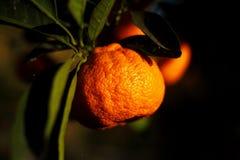 Orange mandarin på trädet mogen tangerine Royaltyfri Bild