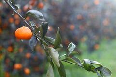 Orange mandarin på trädet mogen tangerine Royaltyfri Foto