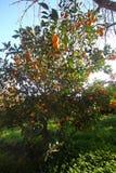 Orange mandarin på trädet mogen tangerine Arkivbilder