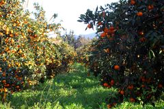 Orange mandarin på trädet mogen tangerine Fotografering för Bildbyråer