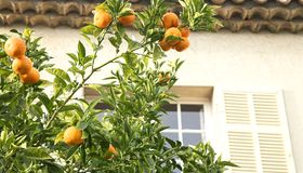 Orange mandarin tree Royalty Free Stock Photos