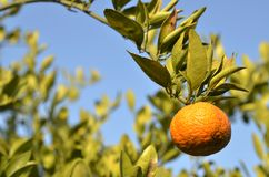 Orange mandarin on the tree. Ripe tangerine Stock Images