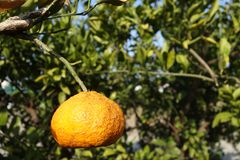 Orange mandarin on the tree. Ripe tangerine Royalty Free Stock Photo