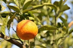 Orange mandarin on the tree. Ripe tangerine Royalty Free Stock Photos