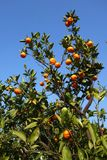 Orange mandarin on the tree. Ripe tangerine Stock Photo