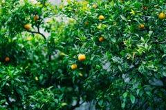 Orange mandarin on the tree. Ripe tangerine. Montenegrin mandari Royalty Free Stock Photography