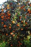 Orange mandarin on the tree. Ripe tangerine. royalty free stock images