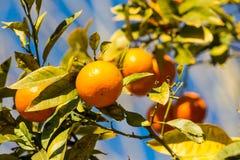 Orange Mandarinen wachsen auf dem Baum Stockbild