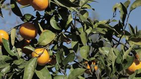 Orange mandarins grow on a tree, green leaves, wind swaying. Nature stock video footage