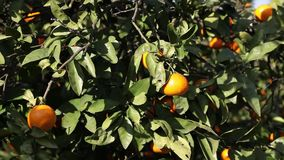Orange mandarins grow on a tree, green leaves, wind swaying. Nature stock footage