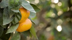 Orange mandarins grow on a tree, green leaves, wind swaying. Nature stock video
