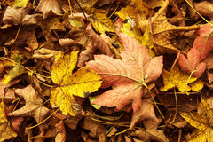 Orange Maple Fallen Leaves Background. Orange Maple Fallen Leaves Autumn Background stock photo